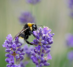 Bee on lavender (yvonnepay615) Tags: panasonic lumix gh4 nature insect bee flower lavender mygarden
