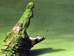 [フリー画像] [動物写真] [は虫類] [ワニ] [叫ぶ] [緑色/グリーン]      [フリー素材]