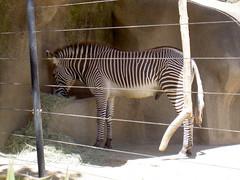 Zebra (kian esquire) Tags: animals penis zoo stripes zebra sandiegozoo