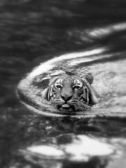 Houston Zoo [Here Kitty, Kitty, Kitty...] (slight clutter) Tags: blackandwhite bw topf25 water animal topv111 tongue swim cat zoo tiger topc50 iloveflickr stickingouttongue coolingoff herekittykittykitty slightclutter katyahorner slightclutterphotography