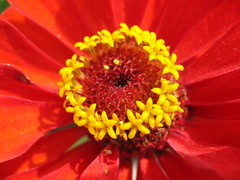 Yellow on Red (shutterBRI) Tags: 2005 red flower macro promotion canon photography photo best powershot top20macro a80 bestshot bestshots shutterbri brianutesch brianuteschphotography