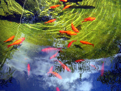 Goldfish, Green Bottom, Blue Sky (pauly...) Tags: reflection pond colorful colours goldfish colores watergarden watergardens amiko ponds