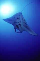 CI001A (aquanerds) Tags: manta ray christmas island kiribati scuba diving fisheye underwater itsongselection1 blue topc50 topv111 topf25 oceanswildlife itsongcanoneos300d