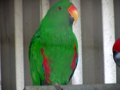 2004 animal photo parrot captive eclectus cyron eclectusparrot eclectusroratus