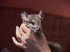 Young Chinchilla - by cenz