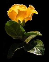 Hibiscus ( Graa Vargas ) Tags: light flower yellow explore hibiscus top20flower interestingness68 graavargas 82408180310 2005graavargasallrightsreserved