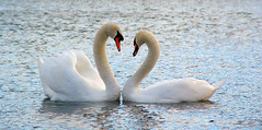 heart v2.0 (The Norwegian) Tags: england lake love beauty birds bravo searchthebest heart quality swans personalfavourite middlesex touching ruisliplido bestof2005 abigfave