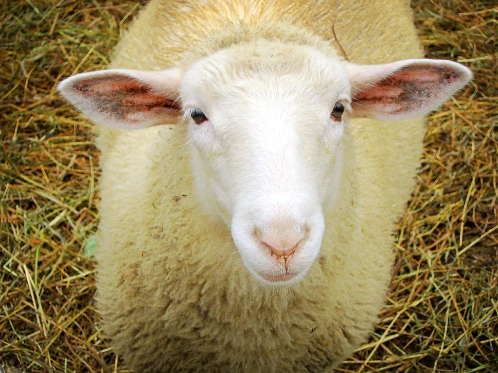 I raise wool animals for yarn. The beginning of any wool yarn starts with fiber harvested from a wool producing animal. This is why we got into the world of keeping fiber goats and sheep.