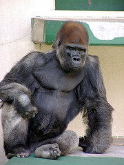 Lowland gorilla 01 (dolphin_dolphin) Tags: animal wow wonder zoo gorilla topv999 naturesfinest abigfave impressedbeauty