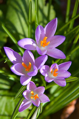 Crocus Triangles
