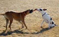 Park Play 3 (Laertes) Tags: hurd oola stella greatdane dane dog play