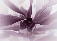 a dream (josef.stuefer) Tags: plant flower leaves leaf purple artistic wing creative dream explore negative imagination euphorbia inverted josefstuefer