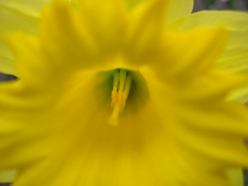 daffodil (closer)