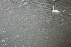 Snowy Swan - by verseguru