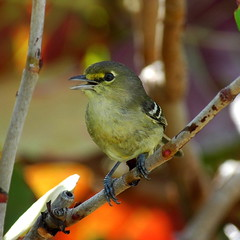 Blue-winged Warbler (jackanapes) Tags: bluewingedwarbler harbourisland bahamas wildlife nature bird birds ornithology warbler songbird