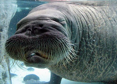 morsa acuario