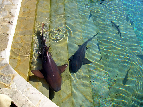 Reef Sharks on the Steps