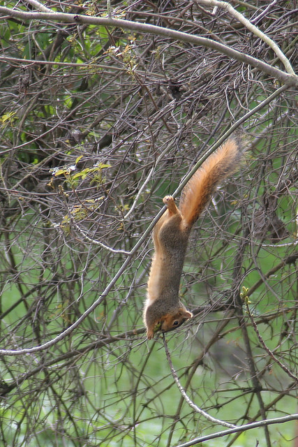 Squirrel dangling