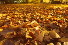 Close leaves (tralain) Tags: autumn fall leaves connecticut ct foliage jt eyewashdesign