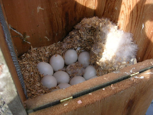 hooded merganser nest box