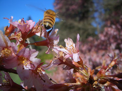 Bee1 (revolution8) Tags: spring seattle arboritum cherry bee flower pink