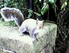 cabotsquirrel (marktristan) Tags: squirrel cameraphone cabottower bristol