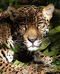 Jaguar (hodad66) Tags: 1025fav cat wow zoo stare jaguar flickrbigcats