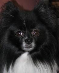 Zoe Bear (mimbrava) Tags: blackandwhite dog closeup queen mimbrava pomeranian zoebear particolored setmyfavorites setzoebear