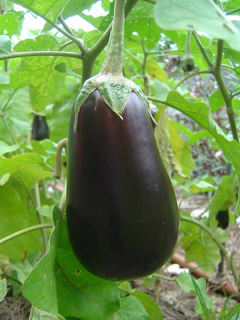 DSC01716 - Eggplant