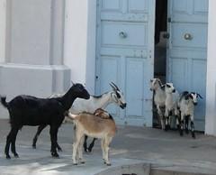 Goats, India (gilesh) Tags: india 2005 pondicherry street goat goats