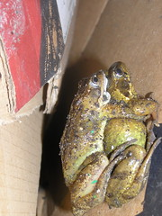 elvanfoot frogs 4 (biotron) Tags: elvanfoot scotland farm rave barn frogs piggyback humping mating springtime nookie amphibian cardboard box
