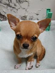 33 (Chrischang) Tags: 33 chihuahua pet dog