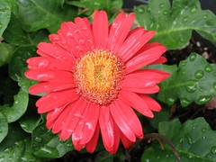 After the Rain (OkiePilgrim) Tags: macro africandaisy flowers
