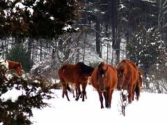 Dayville Herd