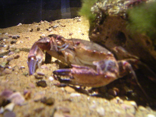 thedeep aquarium hull crab