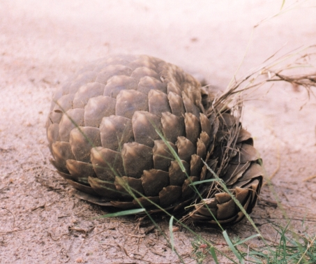 The  pangolin