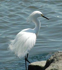 Snowy Egret (Egretta thula) - by Shari DeAngelo