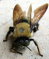 carpenter bee head on (mimbrava) Tags: macro nature topv111 closeup wow insect interesting bumblebee mimbrava continuum specanimal setmyfavorites setflickrfavorites setinmacromode set64intop5001 setinsectsandspiders
