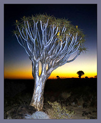 Kokerboom (Walter Quirtmair) Tags: africa film 2004 namibia swq kokerboom eos750 takenbysylvia