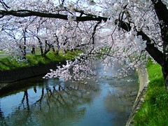 Yoshino cherry (hexion) Tags: white flower reflection japan river cherry minolta blossom urbannature aichi z1 konicaminolta iwakura urbannatureblog