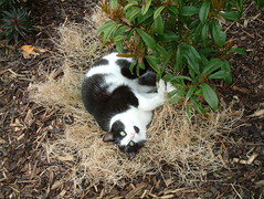 cat tuxedocat irishtypepad s602z goldbach houseforsale tuxedopink