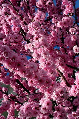 Flowering Plum Explosion II (Terry Bain) Tags: floweringplum flowering plum flower tree spring bloom