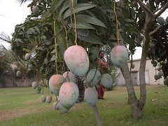 Mangoes in the garden