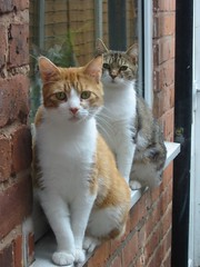 Rambo and Satchmo (amortize) Tags: orange cats window topv111 cat ginger tabby windowsill rambo satchmo