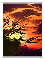 Bamboo Silhouette (hodad66) Tags: sunset florida bamboo 510fav wow 1025fav timetomoveon