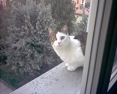 Fusillo sul davanale 2 (*DaniGanz*) Tags: white cute cat kitten tabby greeneyes finestra gatto bianco micio tigercat occhiverdi cutecatphotos davanzale fusillo catsandwindows biancoetigrato tigrato daniganz
