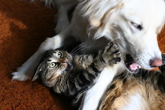 Miesha and Clems daily romp (Padrone) Tags: dog cat puppy play clem miesha