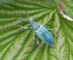"Nettle Weevil (Phyllobius pomaceus) • <a style=""font-size:0.8em;"" href=""http://www.flickr.com/photos/57024565@N00/108077232/"" target=""_blank"">View on Flickr</a>"