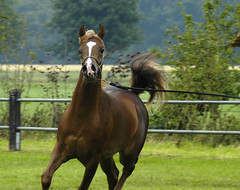 Ajman Moniscione (bea2108) Tags: horses horse beautiful animal animals arab top20horsepix arabian arabianhorse lovely hbotw hbotwarabian