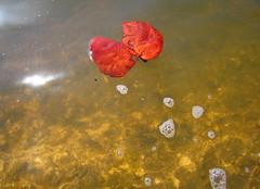 quite controversial quiet conversation (bonyarijen) Tags: red leaf urbannature murkywater